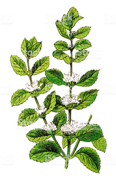 Plante marrube blanc.