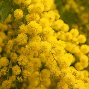 Maigrir avec la feuille de mimosa : bienfaits de la plante jaune pour perdre du poids