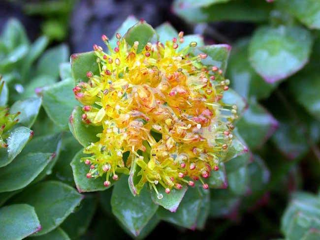 La fleur de rhodiola.