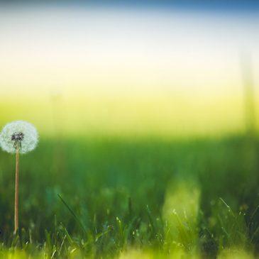 Maigrir avec la racine de pissenlit : la plante star des régimes