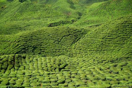 Origine thé vert maigrir.