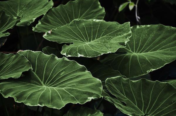 Maigrir grâce aux plantes diurétiques : quel est ce remède naturel pour perdre du poids ?