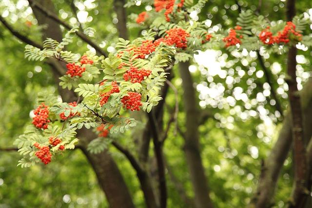 Plantes drainantes : le frêne.